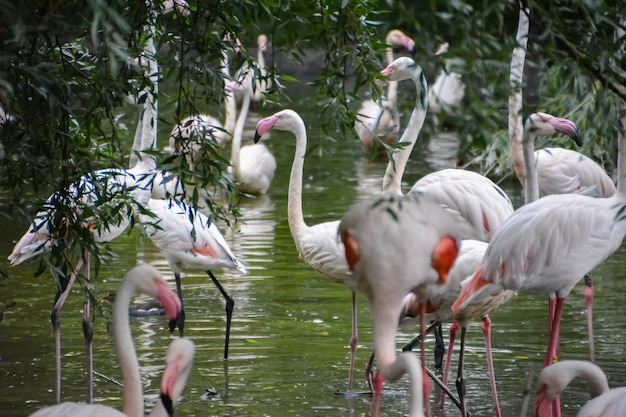 Różowe flamingi lub flamingi to rodzaj ptaka brodzącego z rodziny phoenicopteridae, jedynej rodziny ptaków z rzędu phoenicopteriformes. zjednoczone królestwo.