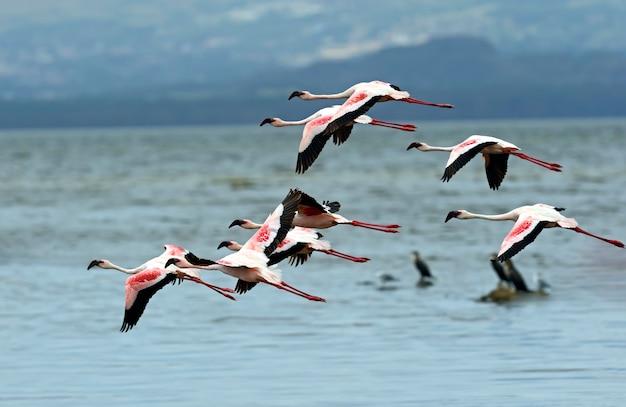 Różowe flamingi nad jeziorem nakuru w ich naturalnym środowisku. kenia.