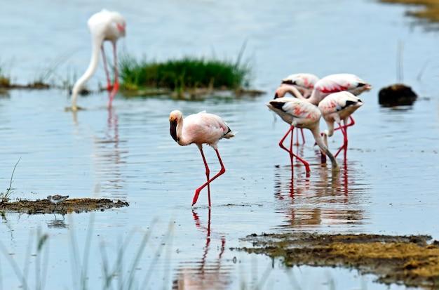 Różowe flamingi w afrykańskim siedlisku nad jeziorem