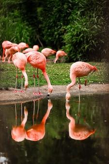 Różowe flamingi w przyrodzie. grupa różowych flamingów polujących w stawie. oaza zieleni w środowisku miejskim, flaming