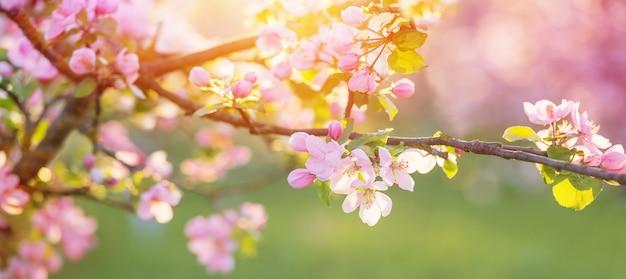 Różowe i białe kwiaty jabłoni w słońcu na zewnątrz