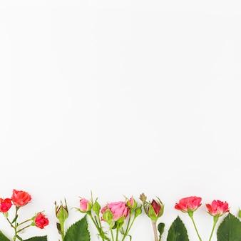 Różowe i czerwone róże kwitną z pączkami na białym tle