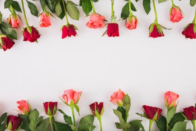 Różowe i czerwone róże na bielu