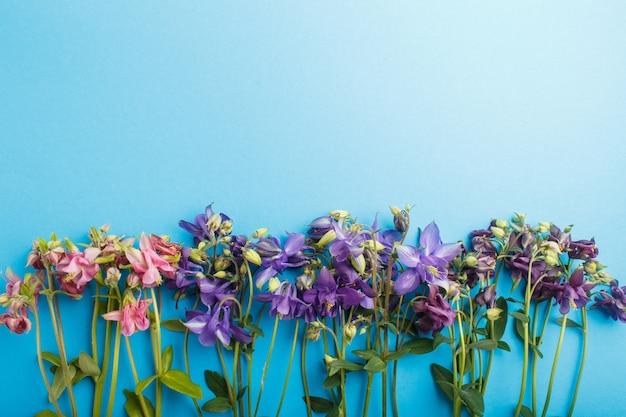 Różowe i fioletowe kwiaty kolombiny na pastelowym niebieskim.