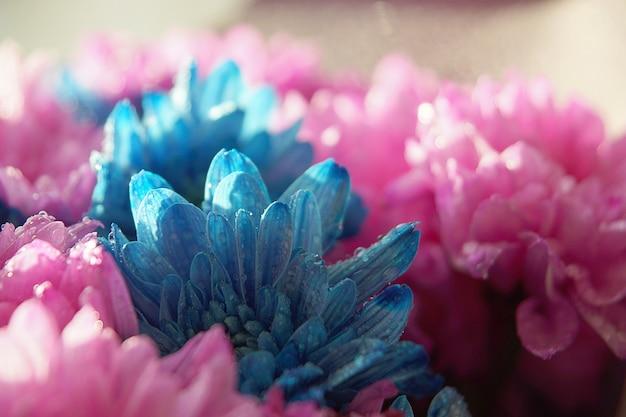Różowe i niebieskie kwiaty chryzantemy z kropelkami wody.
