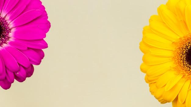 Różowe i żółte gerbery w makro
