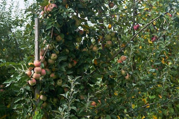 Różowe jabłka dojrzewają na drzewie na plantacji owoców