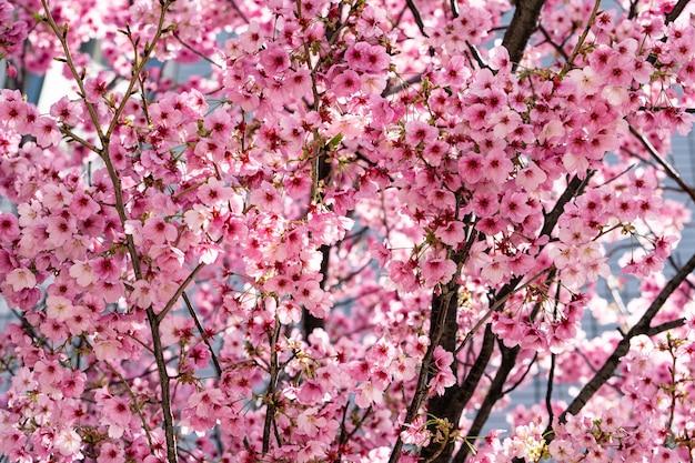 Różowe japońskie kwiaty wiśni sakura w pełnym rozkwicie.