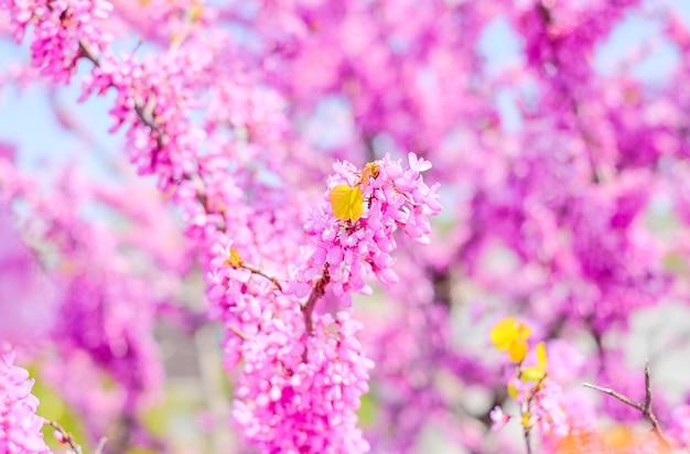 Różowe kwiaty akacji w tle
