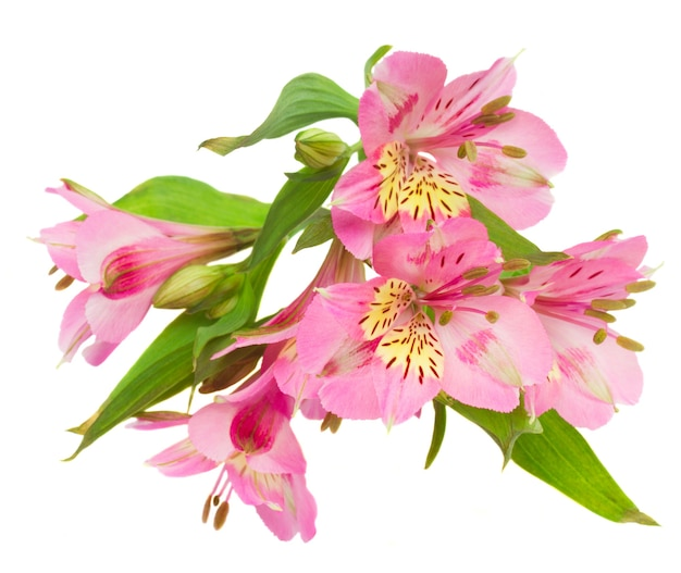 Różowe kwiaty alstroemeria na białym tle