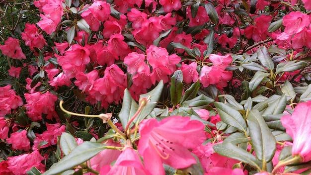 Różowe kwiaty azalii kwitnące w ogrodzie