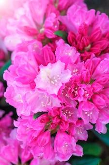 Różowe kwiaty azalii z bliska.