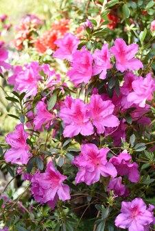 Różowe kwiaty azalii