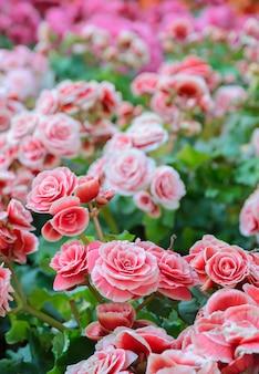 Różowe kwiaty begonii