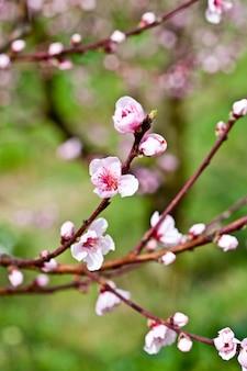 Różowe kwiaty brzoskwini.