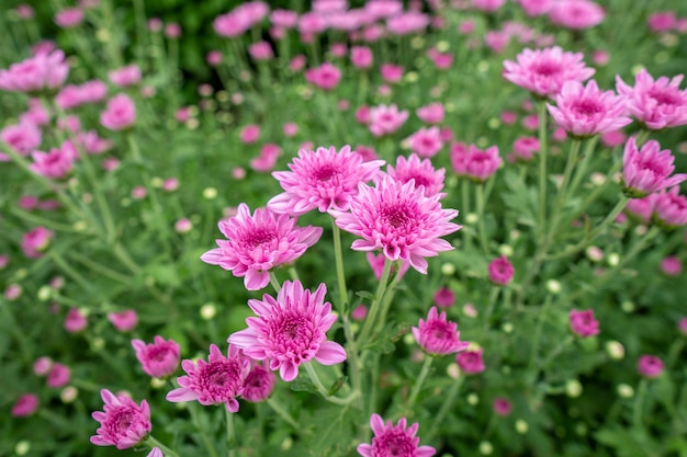 Różowe kwiaty chryzantemy w ogrodzie uprawiane na sprzedaż i do zwiedzania.