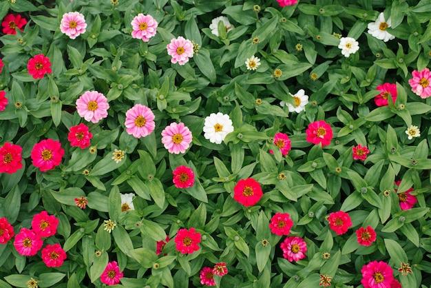 Różowe kwiaty cyni w letnim ogrodzie