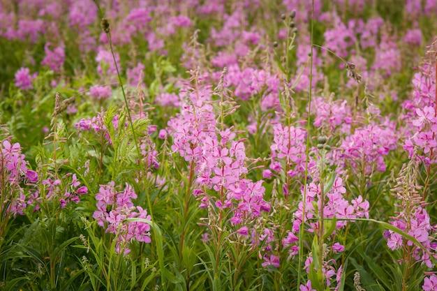 Różowe kwiaty fireweed w rozkwicie herbaty ivan. kwitnące ziele wierzby lub kwitnące sally.