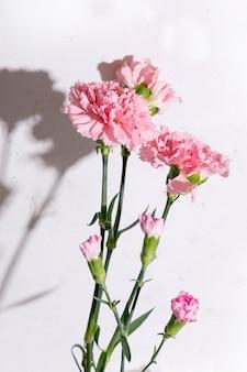 Różowe kwiaty goździków na białym tle