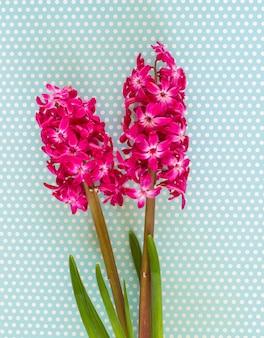 Różowe kwiaty hiacyntu
