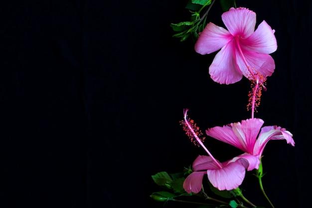 Różowe kwiaty hibiskus układ pocztówka styl na czarno