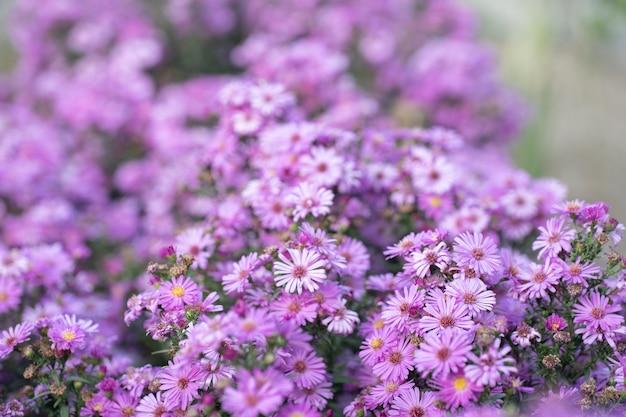 Różowe kwiaty jako tło lub tekstura
