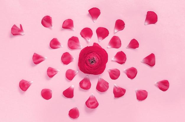 Różowe kwiaty jaskier i płatki na jasnoróżowym tle widok z góry
