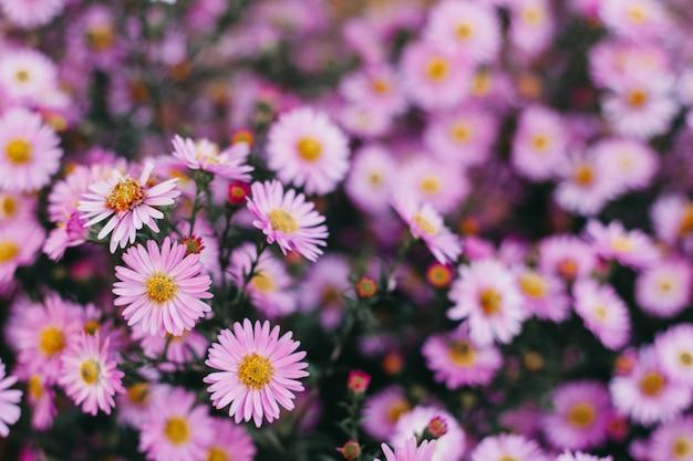 Różowe kwiaty jesiennych astry