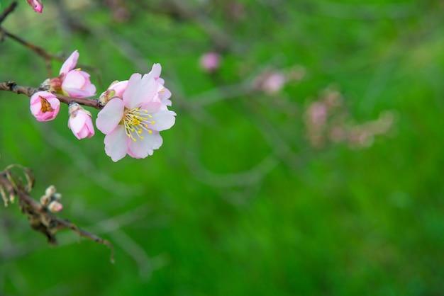 Różowe kwiaty, kwitnąca wiosną gałąź migdałowca