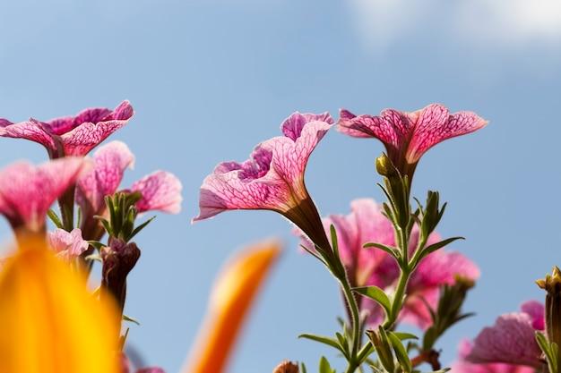 Różowe kwiaty latem