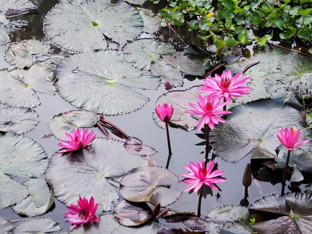 Różowe kwiaty lilii wodnej i zielone liście na stawie