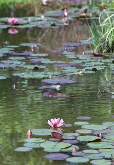 Różowe kwiaty lilii wodnej na małej powierzchni stawu