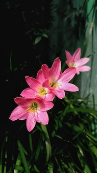 Różowe kwiaty lilii z rozmytym naturalnym tłem