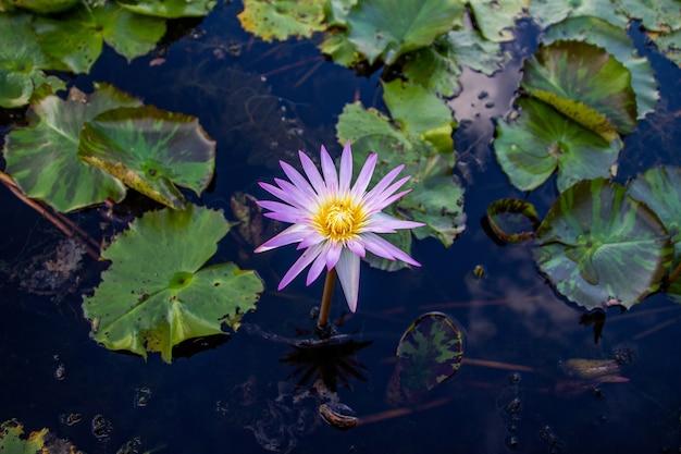 Różowe kwiaty lotosu kwitnące w jeziorze