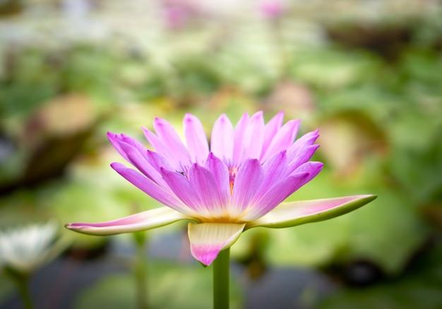 Różowe kwiaty lotosu w stawie lotosu dla rolnictwa