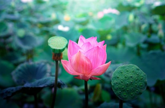 Różowe kwiaty lotosu w stawie lotosu