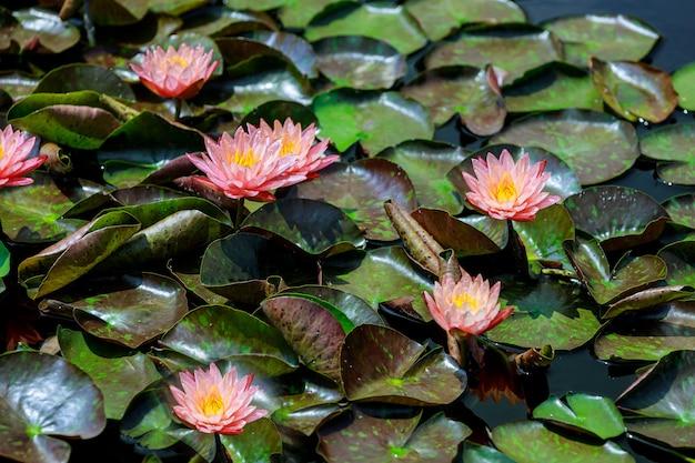 Różowe kwiaty lotosu w wodzie z liśćmi