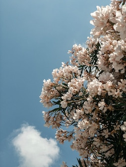 Różowe kwiaty na drzewie na tle błękitnego nieba