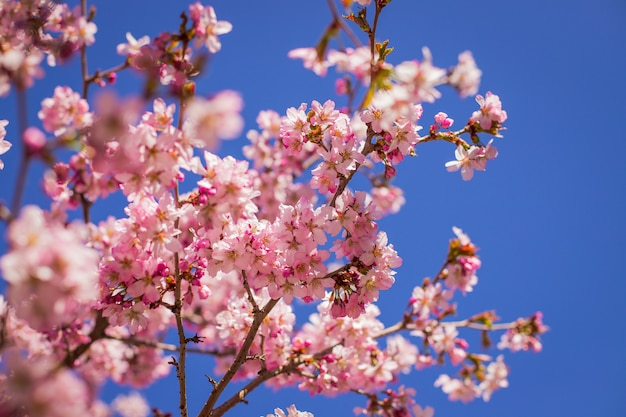 Różowe kwiaty na gałęzi z błękitne niebo podczas kwitnienia wiosny.