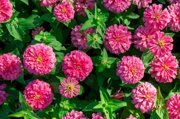Różowe kwiaty nagietka