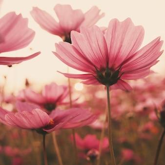 Różowe kwiaty o zachodzie słońca
