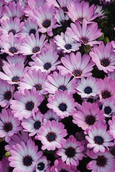 Różowe kwiaty osteospermum lub dimorphotheca w kwietniku