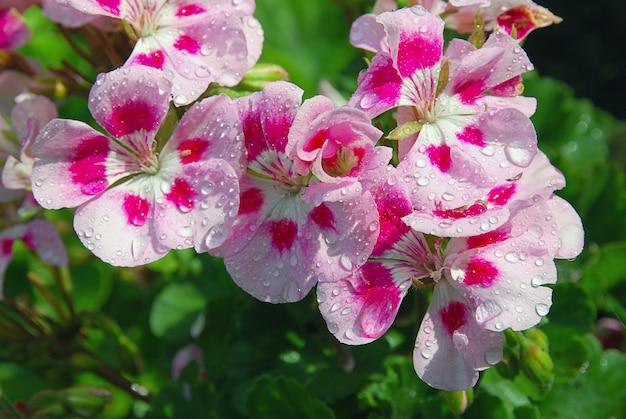 Różowe kwiaty pelargonii z kroplami wody po kwietniowym deszczu