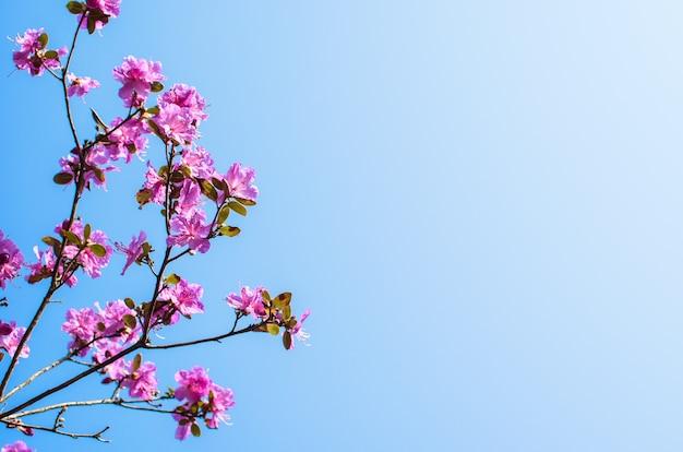 Różowe kwiaty rododendronów dużych krzewów na tle błękitnego nieba.