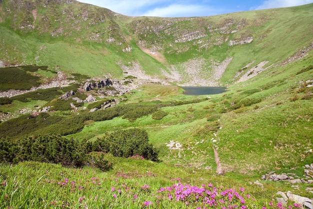 Różowe kwiaty rododendronów i alpejskie jezioro brebeneckul w letnim wąwozie górskim (ukraina, karpaty)