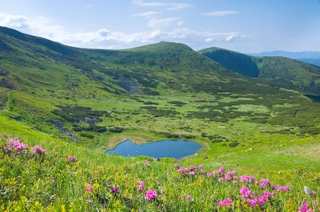 Różowe kwiaty rododendronów w pobliżu małego letniego górskiego jeziora (ukraina, karpaty)