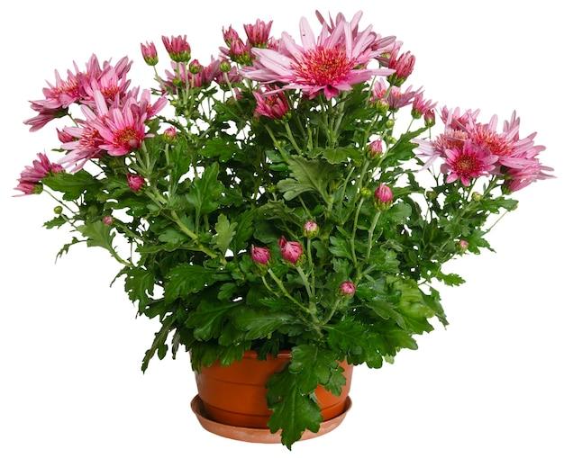 Różowe kwiaty rośliny chryzantemy w doniczce.