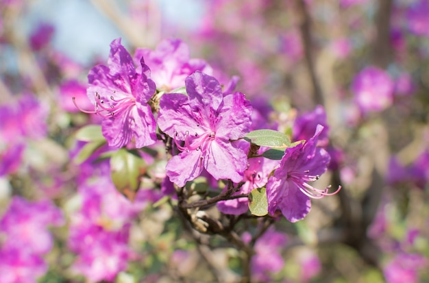 Różowe kwiaty różanecznika dużego krzewu na tle krzewu.