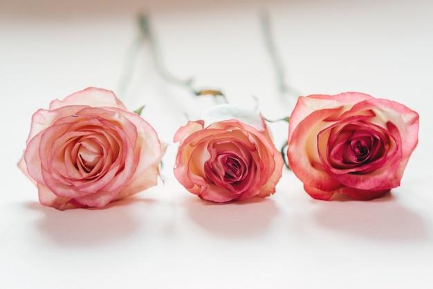 Różowe kwiaty róży brzoskwini na białym tle na jasnoróżowej powierzchni