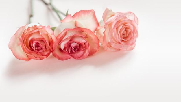 Różowe kwiaty róży brzoskwini na białym tle na jasnoróżowym tle